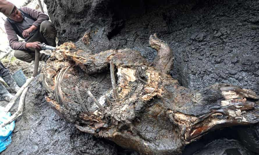 The permafrost of Siberia produces well-preserved woolly rhinoceros from the Ice Age |  Fossils
